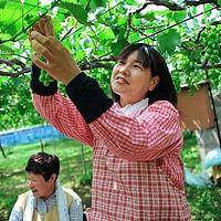 根本さんの巨峰 根本さんの畑で収穫作業をお手伝いする地元の方