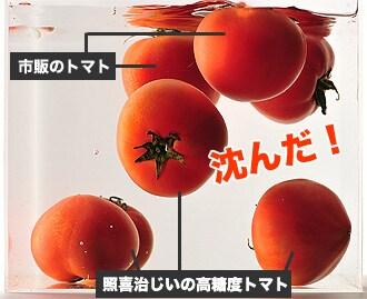 市販のトマトと照喜治じいの高糖度トマトを、一緒に水槽に入れてみると・・・。照喜治じいの高糖度トマトだけが沈んだ!!