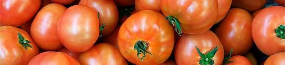 収穫された、照喜治じいちゃんの高糖度トマト
