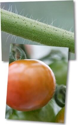 近くで見ると、照喜治じいのトマトには産毛がたくさん生えています。しかもその1本1本が何かを主張するかのように力強く伸びているのです。