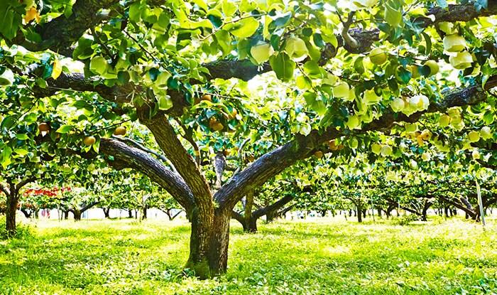 甘くておいしい梨を育むこだわりの樹