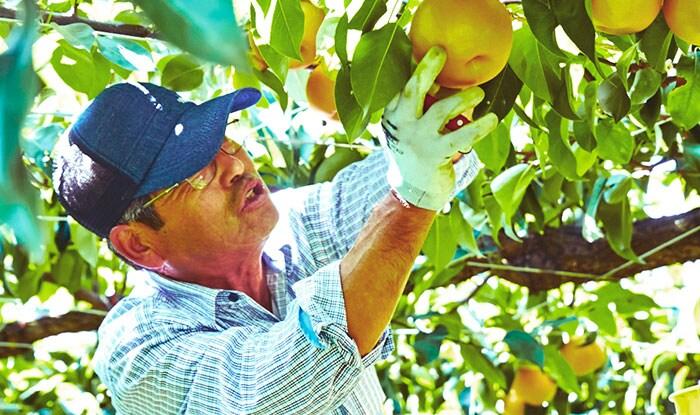自然のままの梨を作る熟練の技