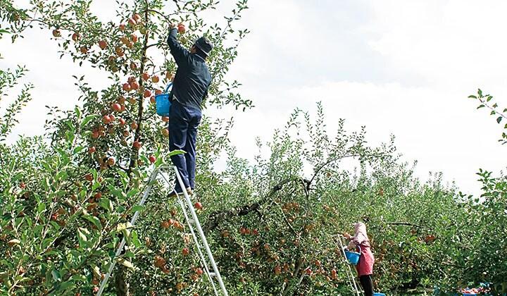 標高530mの環境がりんごを引き締める
