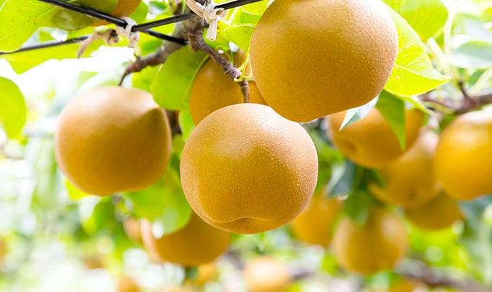 梨がおいしく育つ「くだものの里」