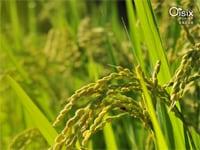 収穫まであと少し。頭を垂れる初秋の稲