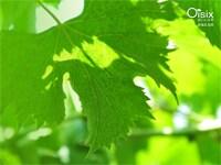 夏の陽射しを受け、透明感が美しい葡萄の葉