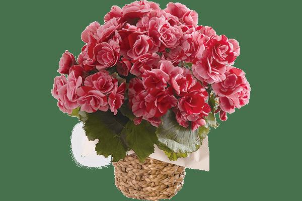 2色咲きベゴニア ストロベリーフィールズ