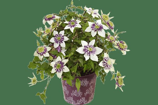 八重咲きクレマチス ビエネッタ