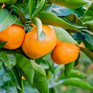愛媛県の段々畑から贈る柑橘便り