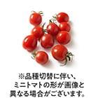 フルーツミニトマト(千葉県産 日暮さん他)